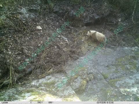 陕西现棕色大熊猫 科学家对这种现象进行了几种推测