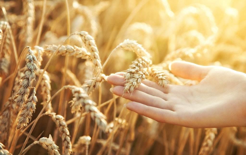 预计4月小麦市场行情稳中偏弱
