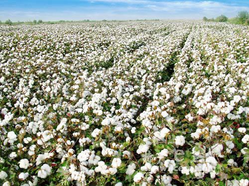 巴基斯坦新棉上市量同比增长7.88%