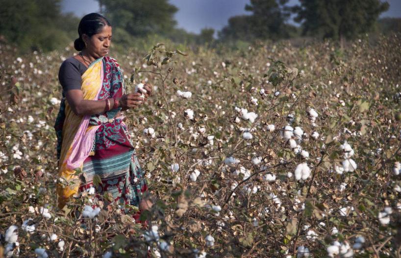 中美贸易摩擦升级 印度棉花出口坐收渔翁之利