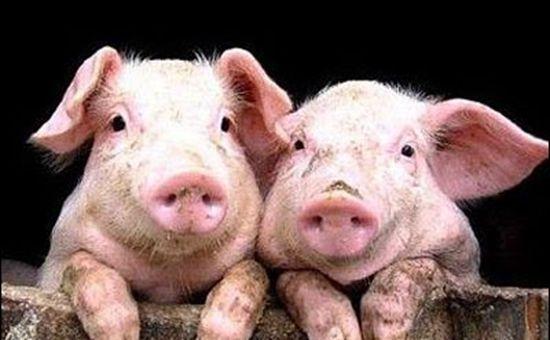 山东沂南县生猪价格大幅上涨 猪肉价格有望实现止跌为升