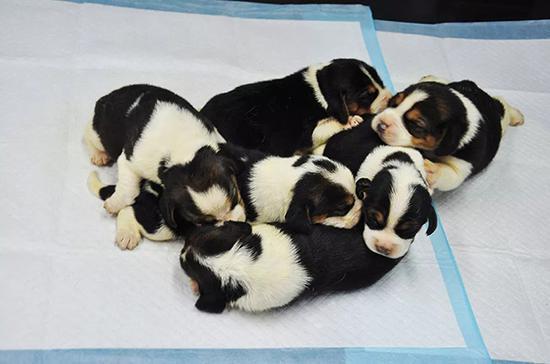 中国首批试管狗诞生 与一父一母的汪星人不同