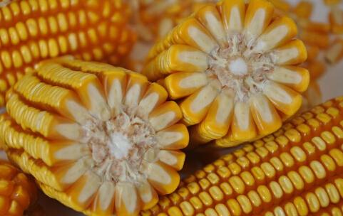优质玉米行情依然可期 不可过分看空