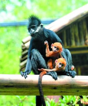 世界首例黑叶猴龙凤胎正式跟游客见面