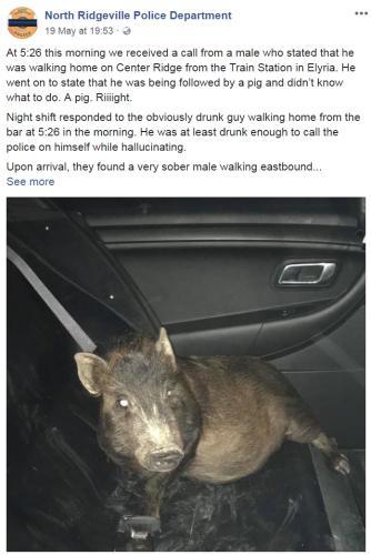警方接报被猪跟踪 这竟然不是一场恶作剧!