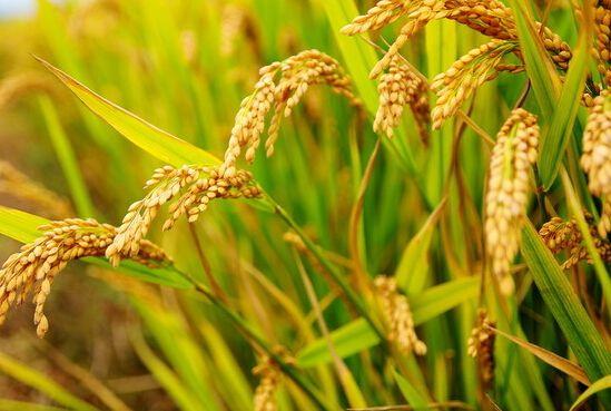 未来稻米市场走势分析