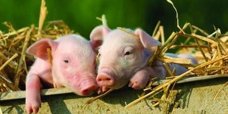生猪存栏量下降 但猪肉价格仍旧下行