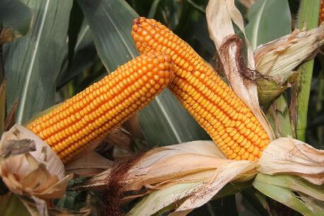 东北玉米种植面积增加 农产品板块机会显现