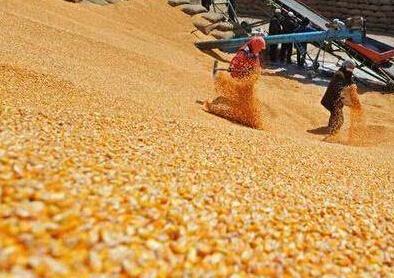 现货价格稳字当头 本月玉米市场窄幅整理