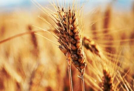 盐城市启动小麦最低收购价执行预案