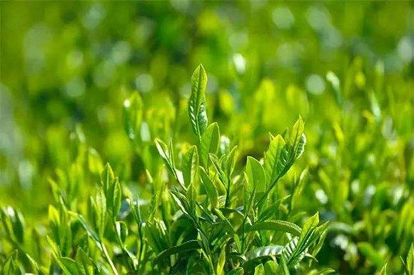 泉州茶叶、芦柑等七类农产品将进行专项监督抽检