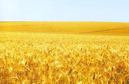 """华北小麦会否再成""""领头羊""""?"""