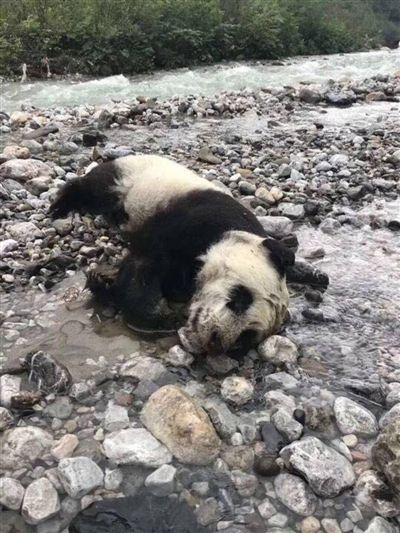 """野生熊猫幼仔溺亡 网友提出可否把大熊猫都""""养起来"""""""