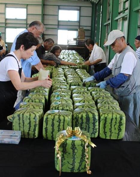 日本方形西瓜售价900 民众将其买回家当展示品