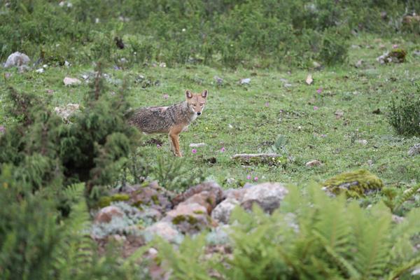 首次发现亚洲胡狼 此前从未在中国境内拍摄到该动物