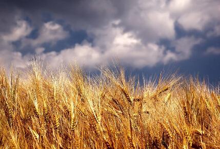 小麦价格高位波动 面粉市场平稳运行