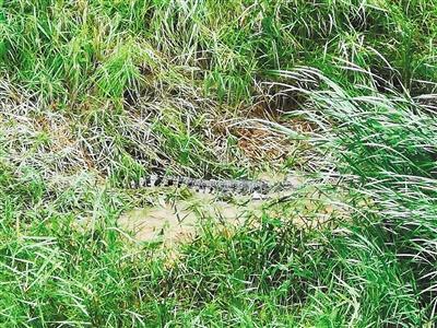 为确保群众安全 西安一出逃鳄鱼被击毙