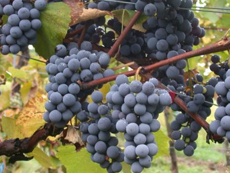 红葡萄酒的品种有哪些