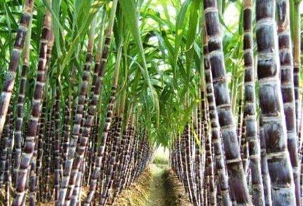 白糖内外价差较大 甘蔗直补价格预计在60元/吨