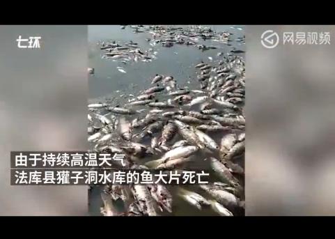 水库高温鱼被热死 水库方已组织人员打捞掩埋