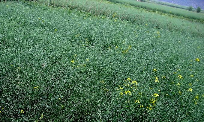 种植收益最高的油籽作物——乌克兰油菜籽