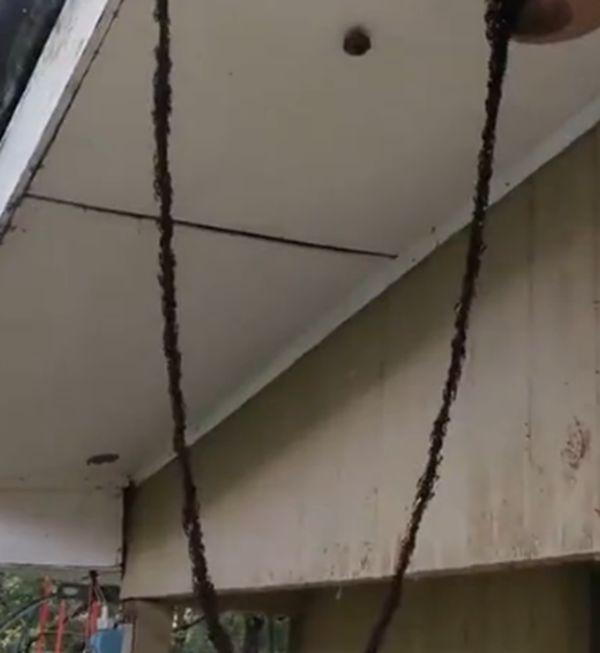 百万蚂蚁建悬空桥