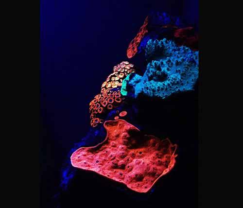 红海深水区发现发出色彩绚烂的荧光的深海珊瑚