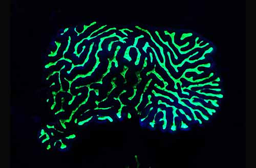 英国生物学家发现部分珊瑚呈现出令人目眩的黄色、橙色或红色