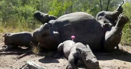 犀牛宝宝护母亲中箭 背部和一只脚严重受伤