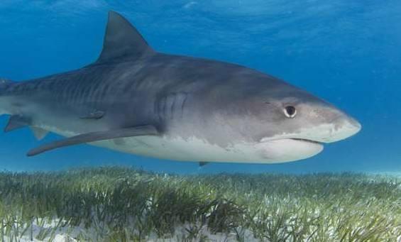 鲨鱼原来也吃草 也会从中吸收营养
