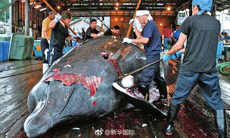 日本再提解禁商业捕鲸 理由竟然是这个