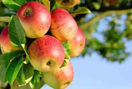 今年苹果市场供需整体偏紧 期价未来仍将易涨难跌