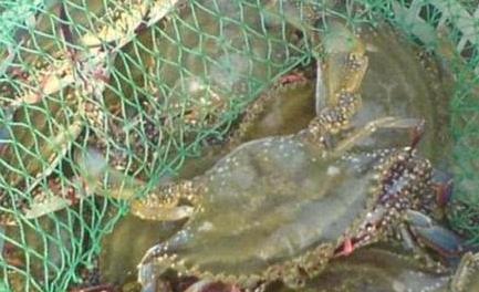 10月17日今日梭子蟹价格查询_最新梭子蟹价格行情走势