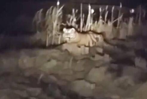 黑龙江一村民翻完地回家 发现路上躺400斤东北虎