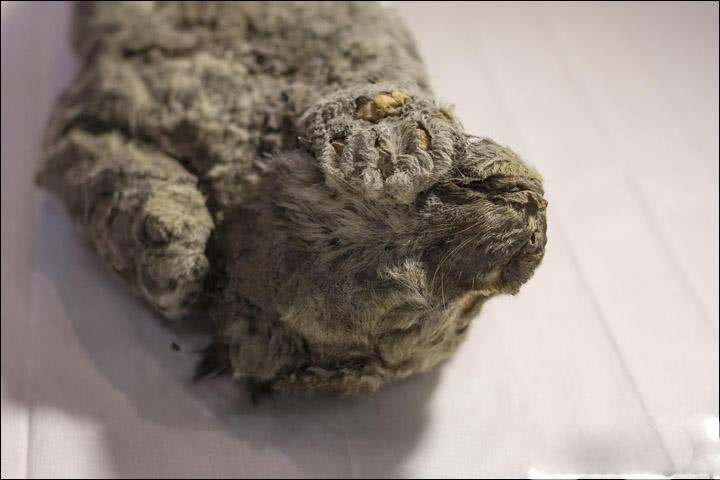 冰冻四万年幼狮