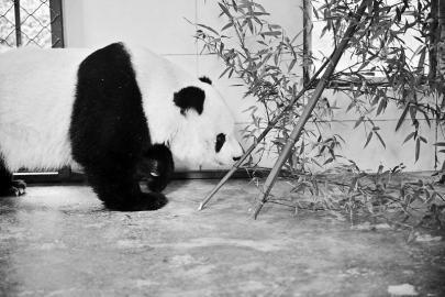 旅美熊猫高高回国 已经入住都江堰基地