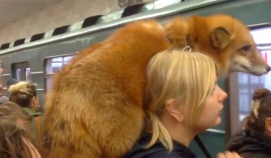俄罗斯女子扛狐狸搭地铁 引起网民讨论