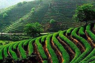 潮州凤凰年产茶叶1000多万斤 年产值超10亿元