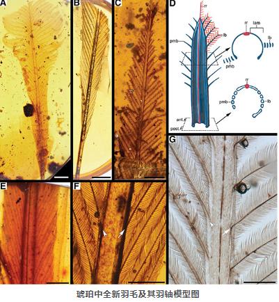 亿年前琥珀中现全新类型羽毛 C型羽毛或许只属于古鸟类