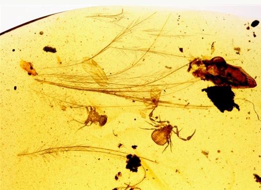 """中外科学家发现琥珀中的伪蝎""""搭车""""鸟类"""