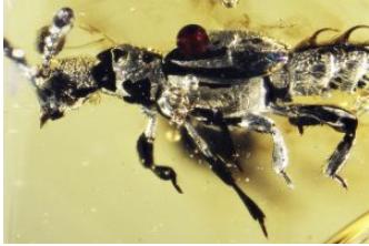 52万年前的琥珀保存了一个特殊的甲虫