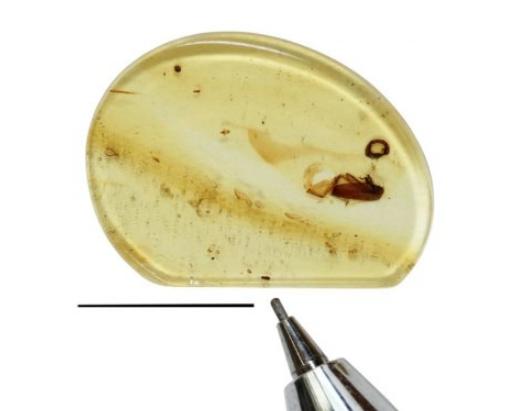 琥珀中发现的恐龙一起生活的小型滑翔伞甲虫