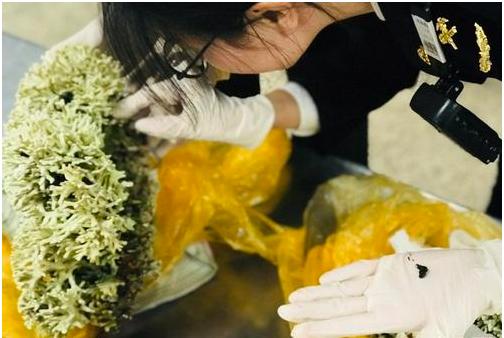 厦门海关截获违规进境珊瑚