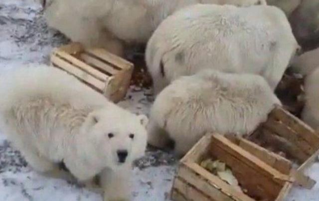 北极熊大规模入侵 闯入住宅和公共建筑
