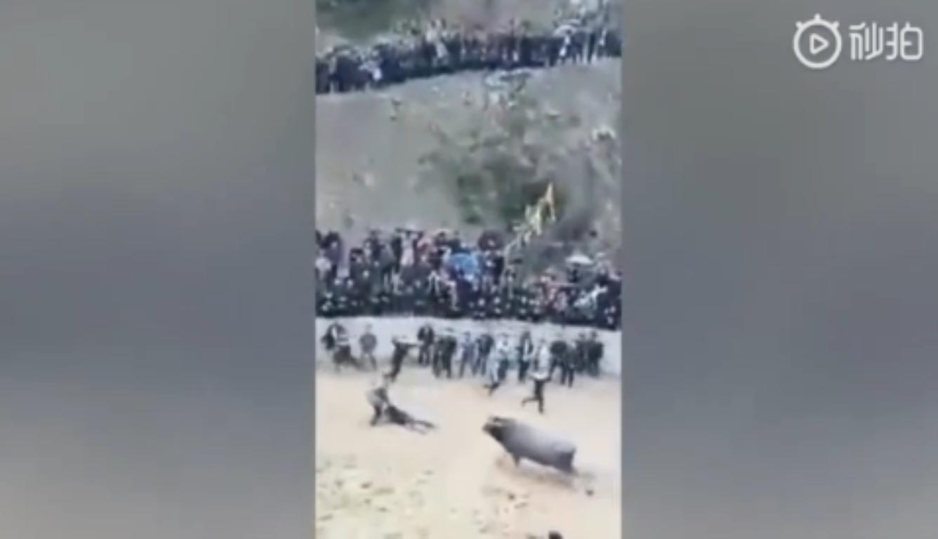 男子给牛灌酒壮胆 结果自己被牛撞飞不幸身亡
