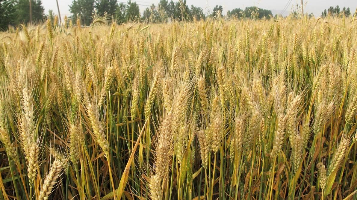 宁夏粮食进口创新高哈小麦占大头