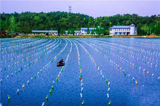 南湾湖农副业基地退养珍珠7000余亩