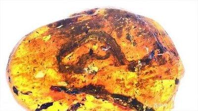 琥珀中首次发现1亿年前的小蛇残骸
