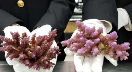 海关查获15株活体石珊瑚