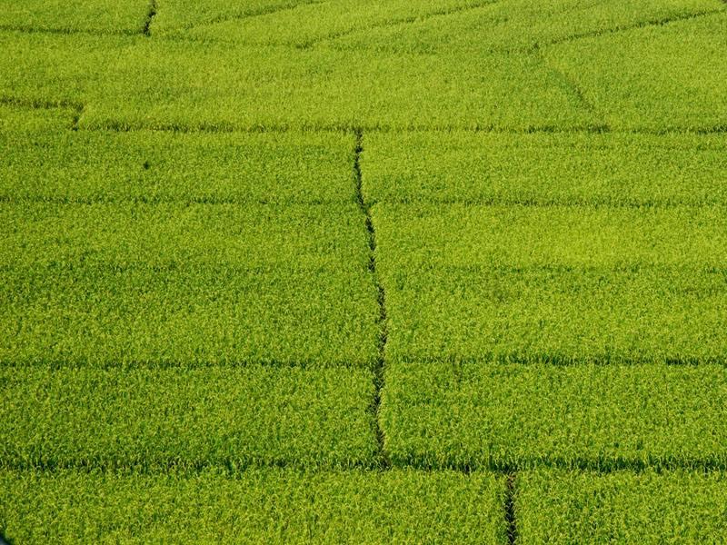 安徽省大部分稻区预计有螟虫发生